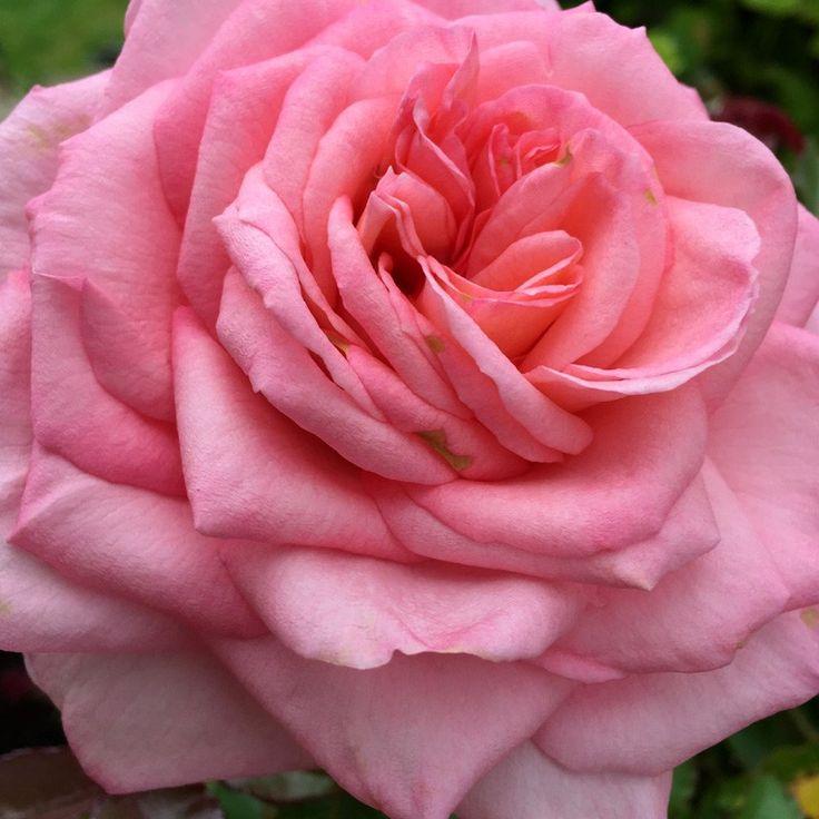 94 best heirloom roses images on pinterest heirloom roses bloom and garden. Black Bedroom Furniture Sets. Home Design Ideas