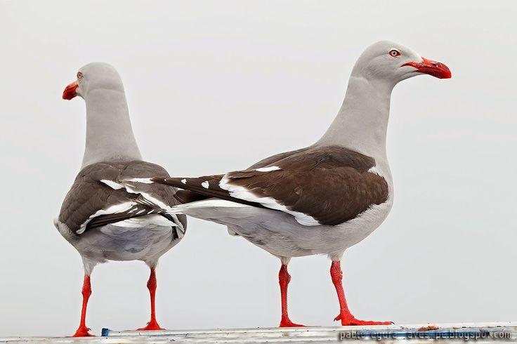mis fotos de aves: Gaviota gris [Leucophaeus scoresbii] Dolphin gull