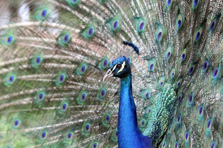 Indian Peafowl © Giovanna Fasanelli