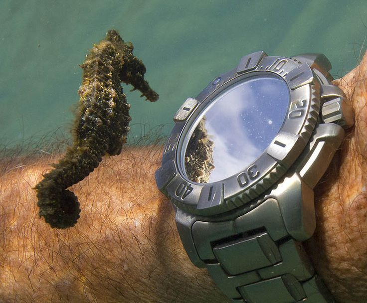 A SEAHORSE INSPECTS A DIVER'S WATCH  Photograph via Mind_Virus on Reddit  In this remarkable capture, a seahorse checks out a diver's watch (and own reflection) underwater. Given the clarity of the clouds in the reflection, this was likely taken quite close to the surface. A reverse image search on Tineye and Google [...]Diver Watches, Seahorses, Epic Win, Sea Hors, Tell Time, Photography, Seahores, Animal, Mirrors Mirrors