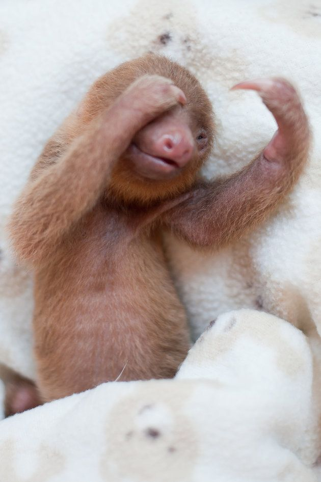 These Orphaned Baby Sloths Will Give You All The Warm Fuzzies