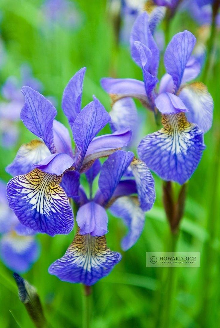 225 best iris plants flowers images on pinterest bearded iris izmirmasajfo