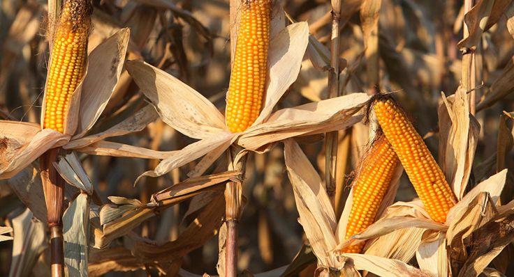 Уборка кукурузы на полях АПК Долгов и К