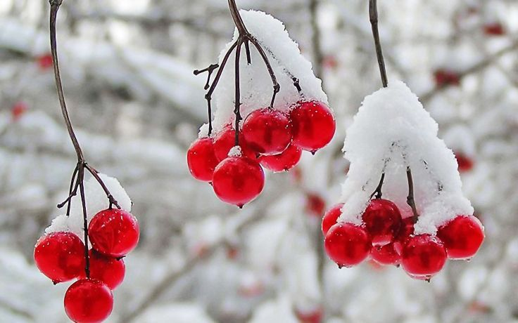 nature winter first snow red berries fruits cranberry  r wallpaper background