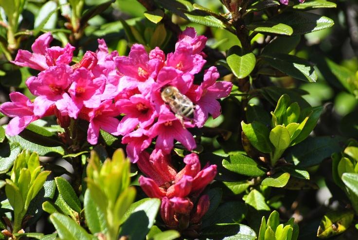 avete mai assaggiato il miele di rododendro? le api sono chef straordinarie! www.visitfiemme.it