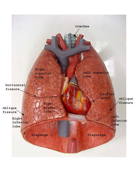 lungs diagram labeled | thoracic cavity muscle man lungs lungs cut
