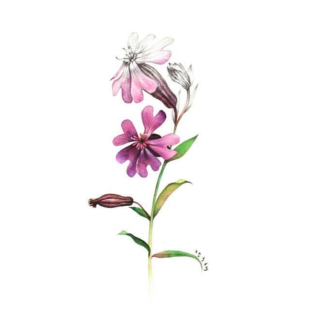 장구채닮은 #장구채  #illustration #일러스트 #wildflowers #야생화 #flower #watercolor #수채화 #pencil #분홍 #꽃말 #동자의웃음
