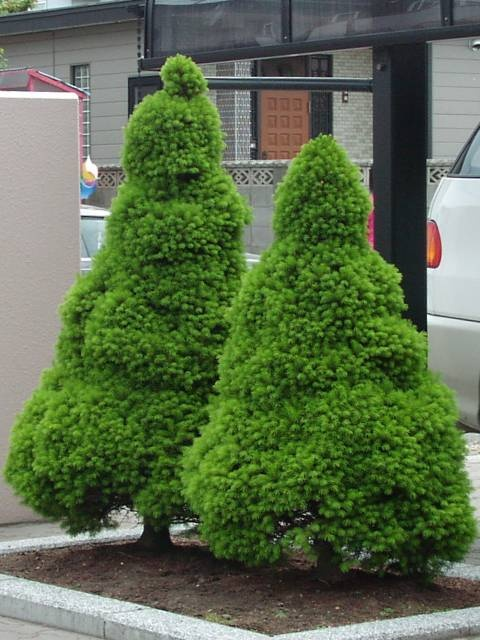30 Best Images About Evergreens On Pinterest Hedges 400 x 300