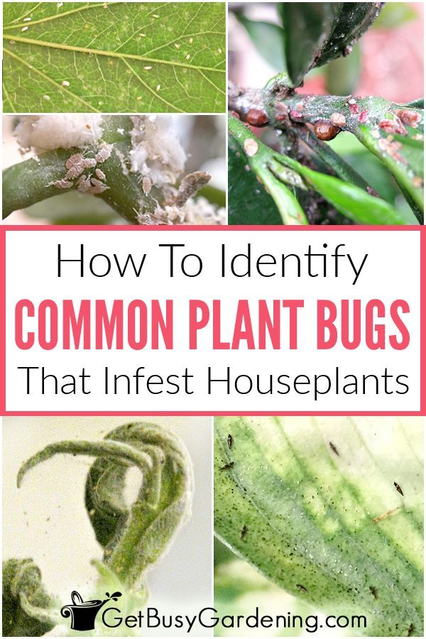 How To Identify Common Types Of Houseplant Bugs In 2020 Plant Pests Common House Plants Plant Bugs