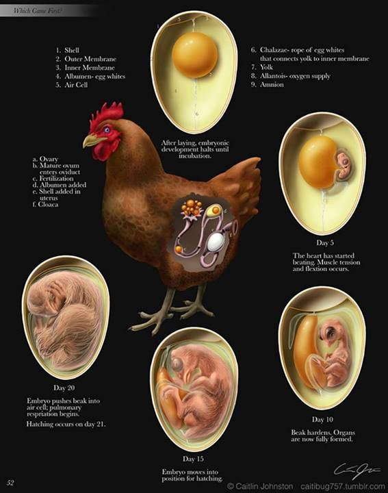 Development cycle of a chicken.
