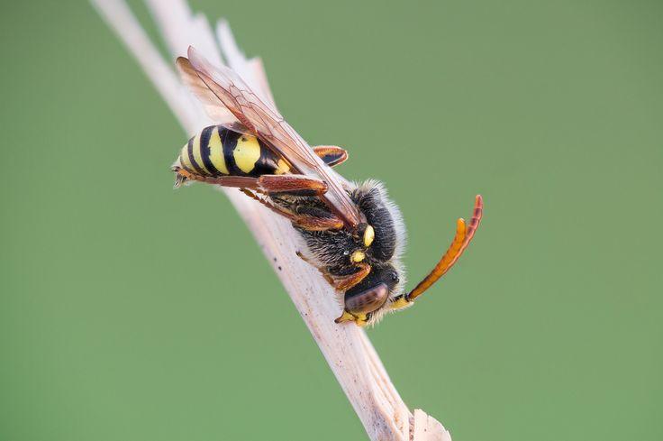 https://flic.kr/p/UC2tWu | Sleeping cuckoo bee (Nomada sp.) | Field stack of 23 Images (natural and LED light mixed). Specimen was found in Hamburg, Germany.  Kingdom: Animalia Phylum: Arthropoda Class: Insecta Order: Hymenoptera Family: Apidae Subfamily: Nomadinae Tribe: Nomadini Latreille, 1802 Genus: Nomada