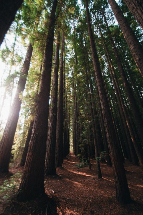 hullocolin:  East Warburton Redwood Forest Australia Tumblr  ...