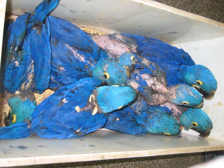 ararinha azul da caatinga - Pesquisa Google