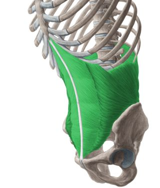 transversus abdominis- a built in corset.  This is the muscle to wrk for an itty bitty waist line. Work with super mans, bicycles, flutter kicks, and plank