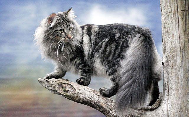 Norueguês da Floresta | Gatos de Raça | TUDO GATO - Pra quem é curioso como eles...