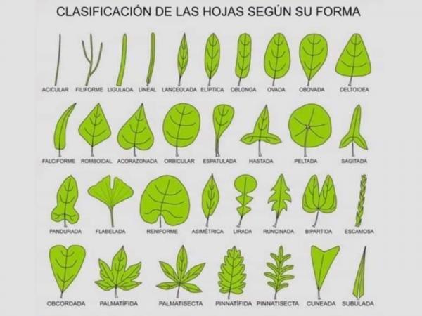 Tipos De Hojas Clasificación E Imágenes Formas De Las Hojas Clasificacion De Las Hojas Herbario De Hojas