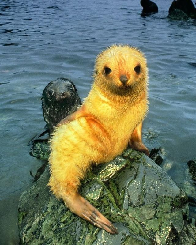 "@Regrann from @natgeo: Photo by @FransLanting This young fur seal struck a pose that reminded me of the ""Little Mermaid"" sculpture in the harbor of Copenhagen. Blond fur seals are a rare color phase among the hundreds of thousands of black seals that are born on the beaches of frigid South Georgia in the sub-Antarctic. This young pup stood out so much from its neighbors that I easily returned to it day after day to follow it on its wanderings through the crowded colony. Follow me…"