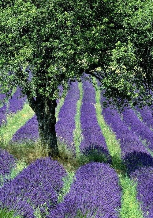 Olive tree and lavender..perfect garden...