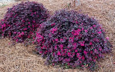 Purple Pixie Loropetalum - 1 Gallon - Loropetalum - Fringe Flower - Buy Plants Online
