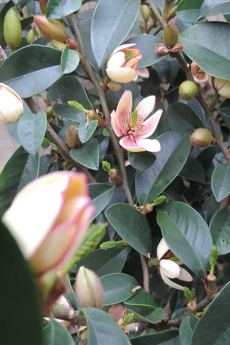 Magnolia flowers.  Smells amazing