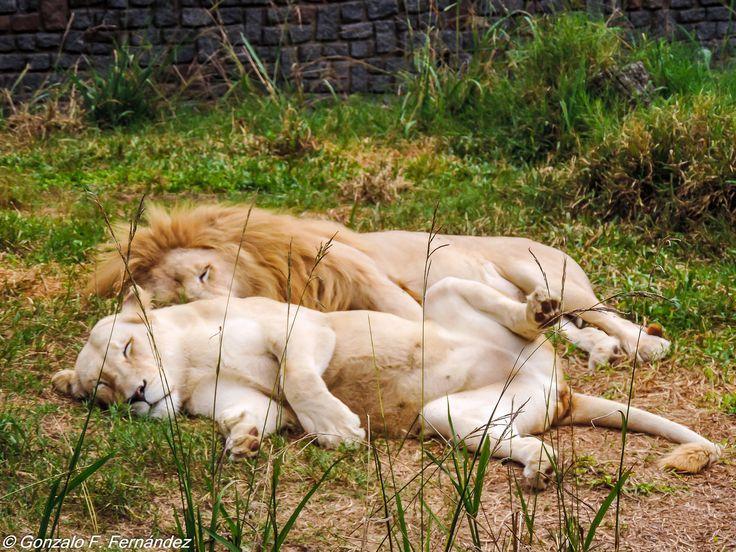https://flic.kr/p/thNRC1 | Siesta. Nap. | Zoológico de Buenos Aires.