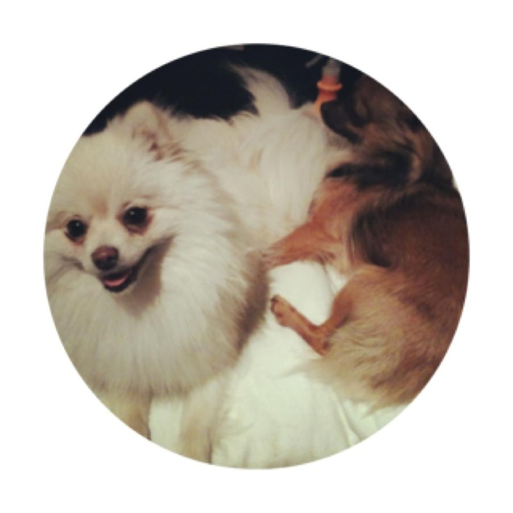 Bonzo the Chihuahua and Indi the Pomeranian snuggling up on the couch after 2 nights of living together! #pomeranian #chihuahua