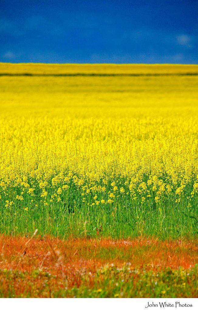 Canola crops. Eyre Peninsula. South Australia.  John White