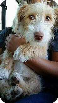 Lomita, CA - Welsh Corgi/Terrier (Unknown Type, Small) Mix. Meet Corgi Terrier Pup, a puppy for adoption. http://www.adoptapet.com/pet/17073636-lomita-california-welsh-corgi-mix