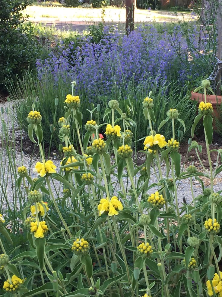 Phlomis with Nepeta Walker's Low making a purple haze in the background // Gardens On My Mind