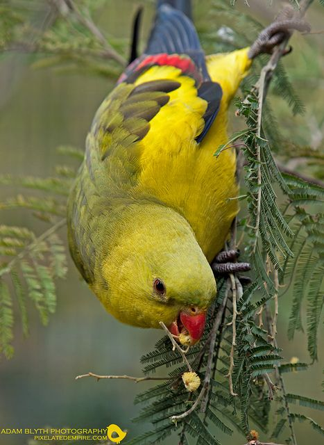 Regent Parrot, also known variously as the Rock Pebbler, Rock Peplar, Black-Tailed Parakeet, Murray Smoker', Marlock Parakeet and sometimes Regent Parakeet.