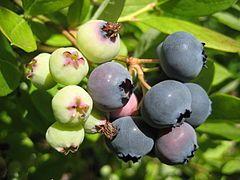 Bleuet (fruit) — Wikipédia