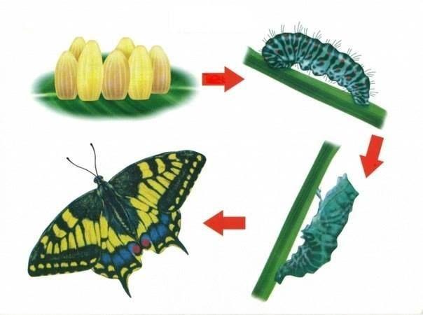 fluture
