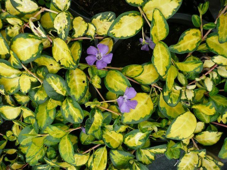 Die 25+ Besten Ideen Zu Bodendecker Immergrün Auf Pinterest ... Bodendecker Vinca Minor Garten