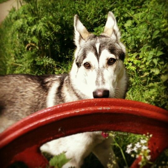 85 best images about northern inuit dogs on pinterest dire wolf puppys and sophie turner - Dire wolf bookends ...