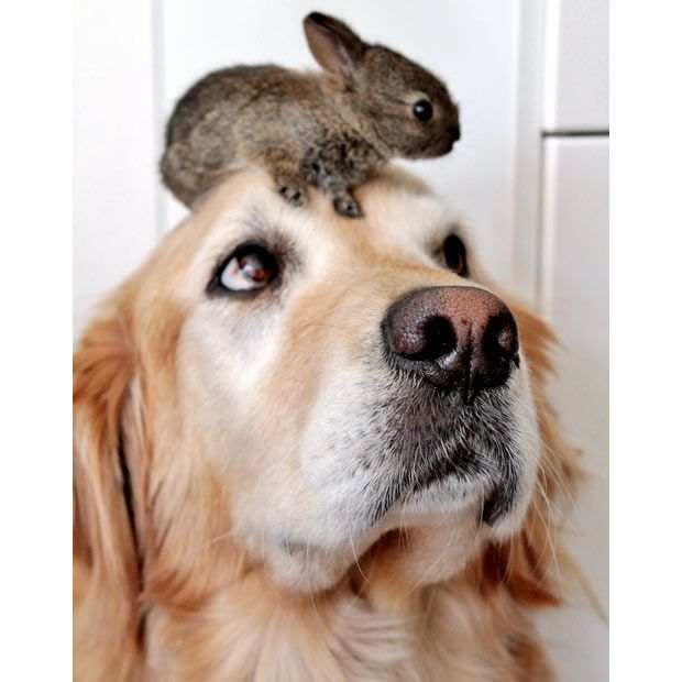 A Labrador has become surrogate mother to two baby rabbits.