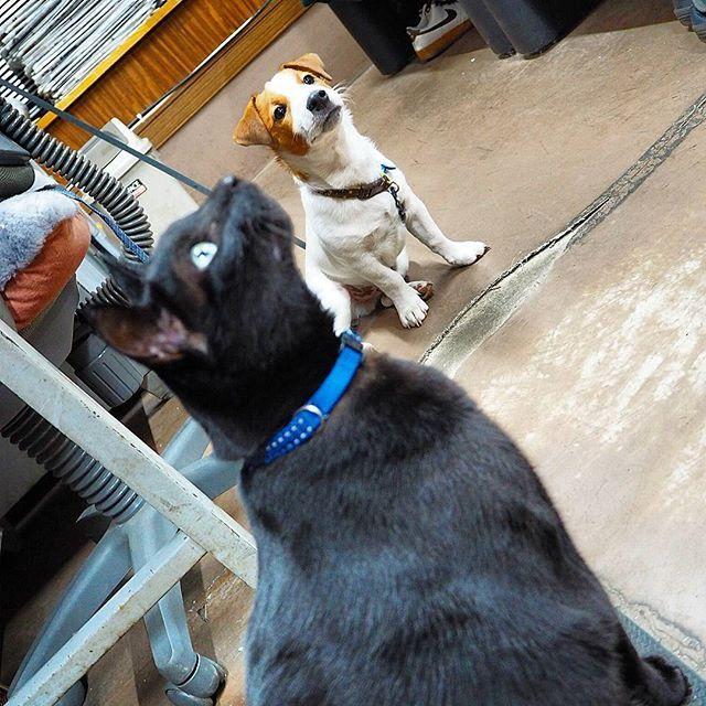 どこ見てるの!? Where are you looking!? #jackrussellterrier #Jackrussellterrier #jrt #dog #cute #good #nice #pappy #follow #ジャックラッセルテリア #ジャックラッセルテリア部 #ジャック #リック #愛犬#cat #catstagram #愛猫#猫