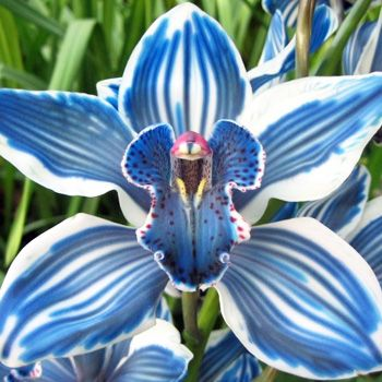 Blue Cymbidim Orchid  ♥ ♥: Blue Orchids, Blue Cymbidim, Blue Cymbidium, Beautiful Flowers, Garden, Cymbidim Orchid