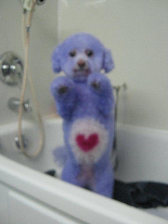 omg! Care Bear poodle!!!