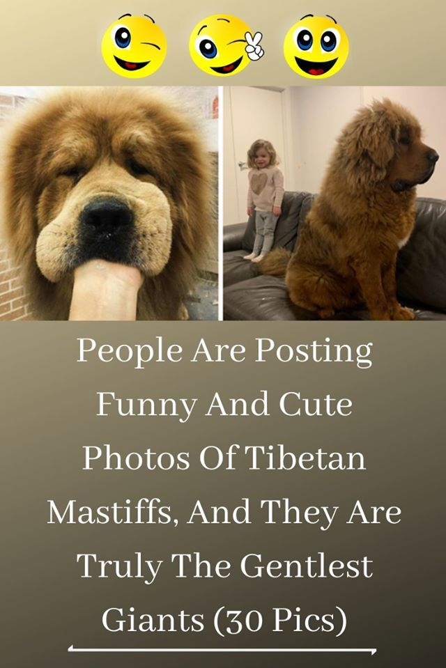 People Are Posting Funny And Cute Photos Of Tibetan Mastiffs And They Are Truly The Gentlest Giants 30 Pics Tibetan Mastiff Mastiffs Tibetan Dog Breeds