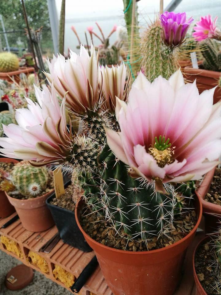 Cactus - Wikipedia