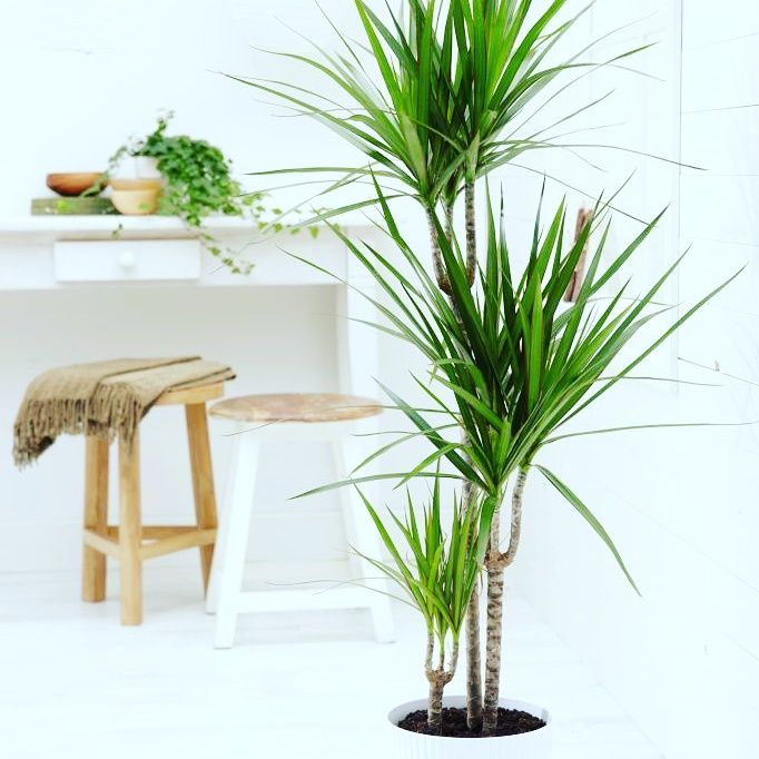 40 best images about gardening dracaenas on pinterest for Maintenance of indoor plants