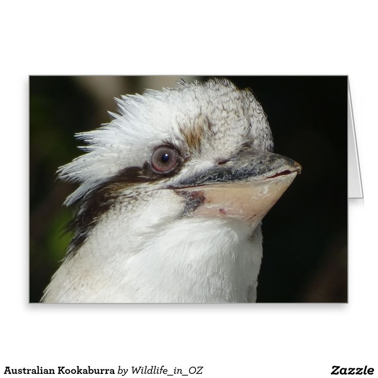 Australian Kookaburra Greeting Card - Australian Wildlife. Click on photo to view item then click on item to see how to purchase that item. #postcard #greetingcard #kookaburra #wildlife #australianwildlife #zazzle