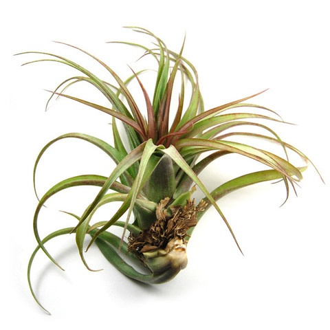 air plant supply co garden air plants pinterest products red and air plants. Black Bedroom Furniture Sets. Home Design Ideas