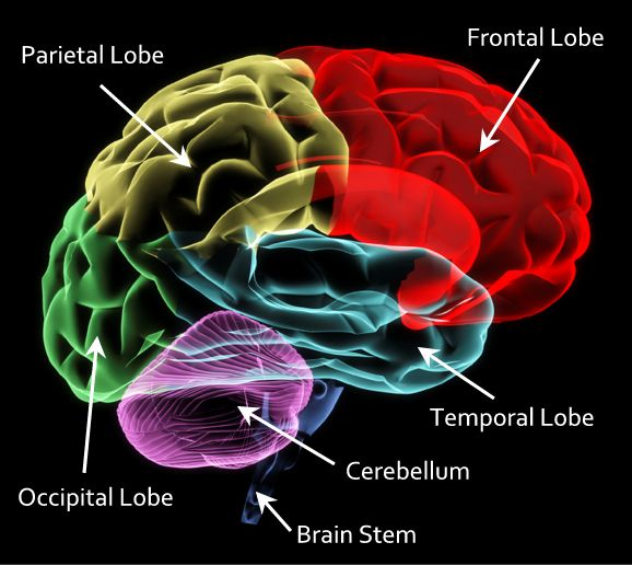 The 25 best cerebrum function ideas on pinterest function of the brain fandeluxe Image collections