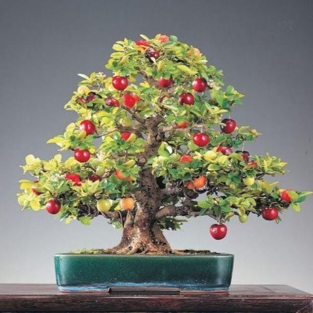 The Holistic Green Garden: Bonsai Mini Pearl Cherry Seeds