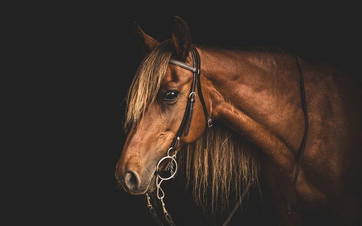 морда, конь, уздечка, лошадь, профиль, темный фон, грива