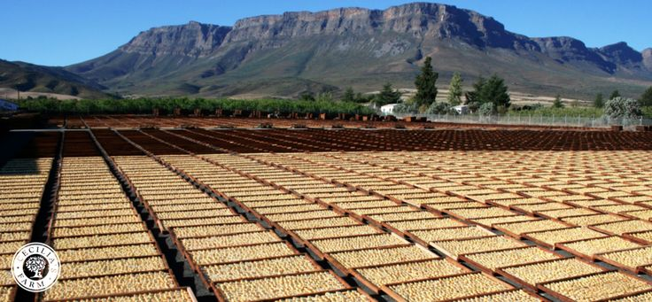 Bon Cretien pears - drying in the sun at Cecilia's Farm, Ceres, South Africa.  www.ceciliasfarm.co.za
