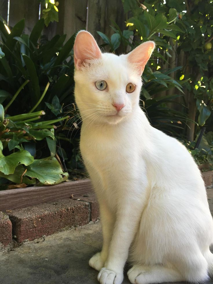 Meet bowie, my deaf little monster. - http://cutecatshq.com/cats/meet-bowie-my-deaf-little-monster/
