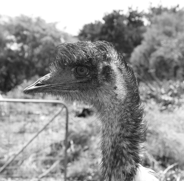 Emu - Maru animal park , Vic