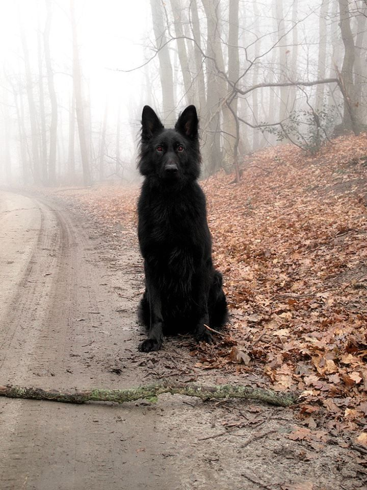 All black german shepherd :) if I can't have an all black cat I'll get me one of these.